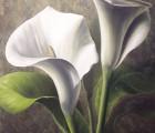 Callas-weiss-II