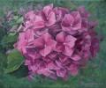 hortensienbluete-in-pink